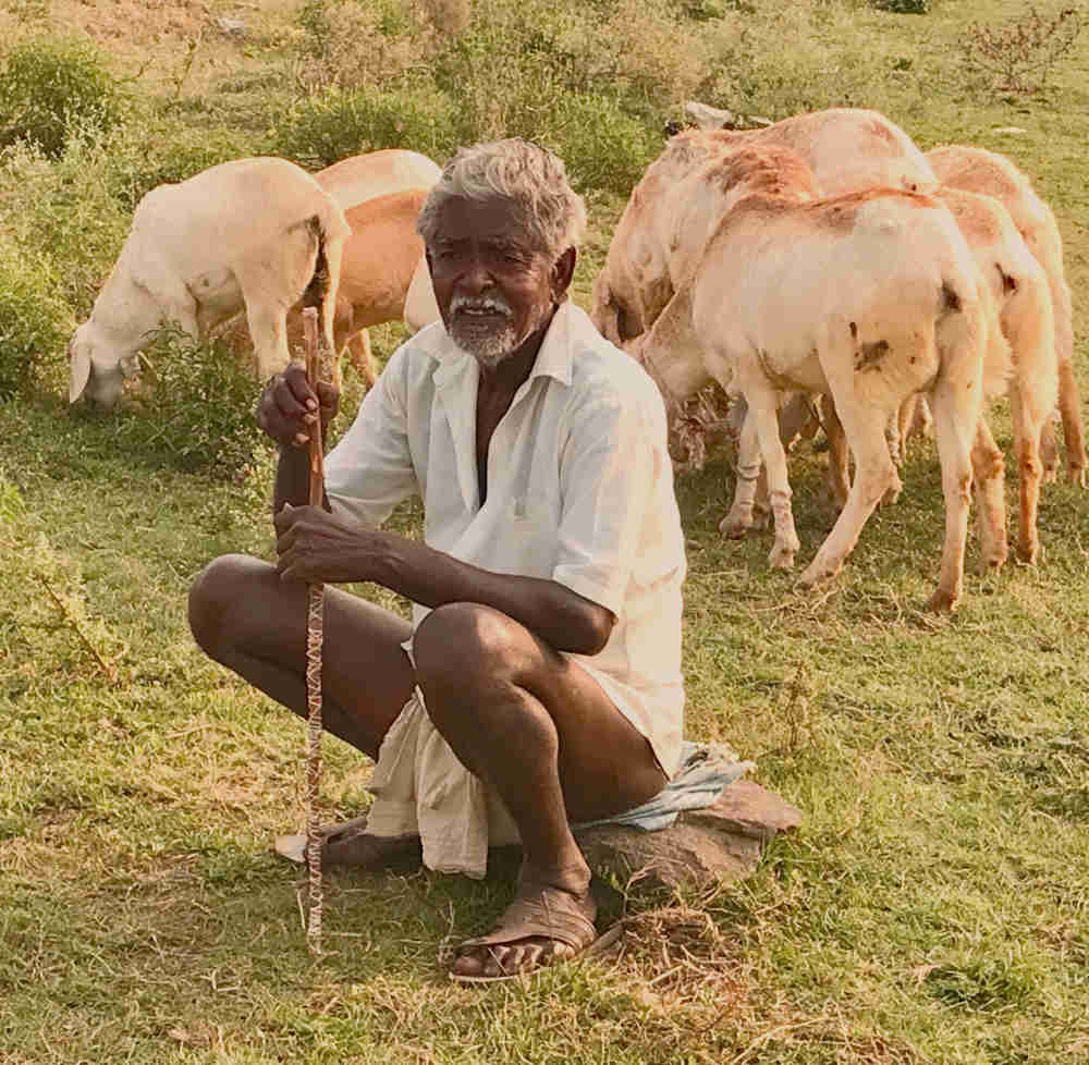 Elderly goat farmer sitting on a rock while his goats graze