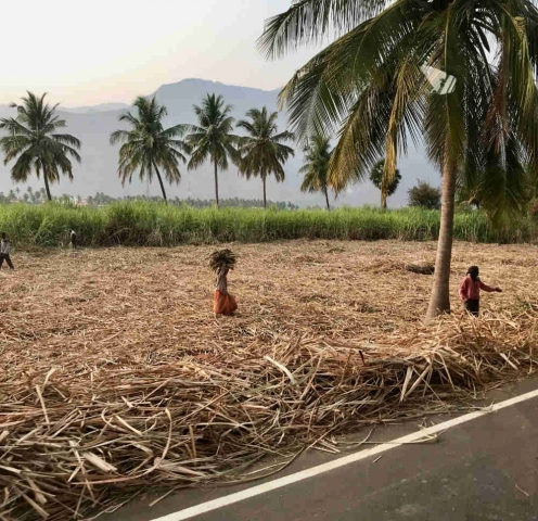 Field of sugar cane being harvested by the roadside